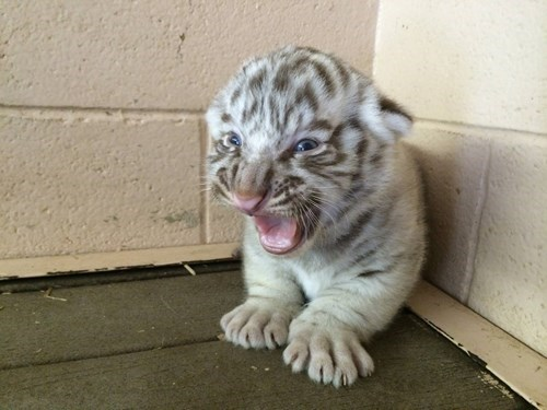 tigers cute white cubs growl - 8210103040