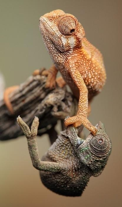 cute chameleon lion king