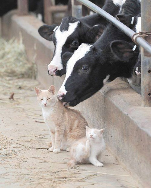 Cats,cows,milk