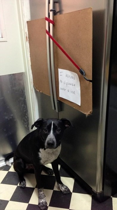 dog shaming,dogs,refrigerator