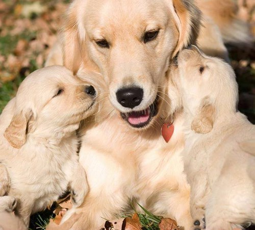 dogs puppies mama golden retriever - 8213592064