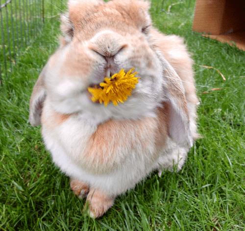 dandelion cute noms rabbits - 8213604864