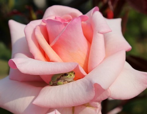 cute,flowers,frogs