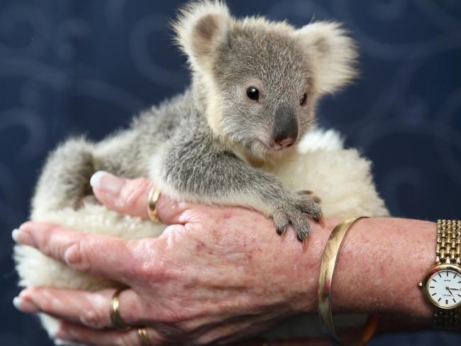 baby australia koalas koala squee rescue - 821509