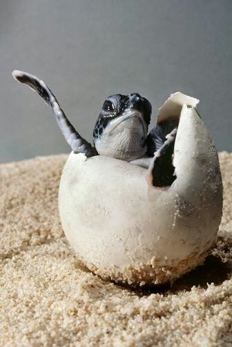 Babies turtles hatching - 8217024768