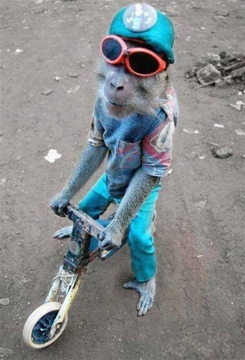 sunglasses,poorly dressed,monkey,bike