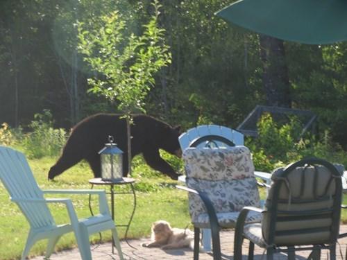 brave bears Cats - 8217080320