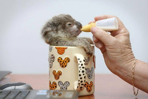 Babies koalas cute coffee