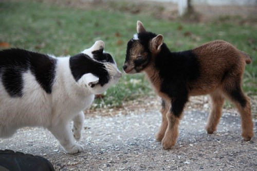 goats cute curious Cats - 8218128128