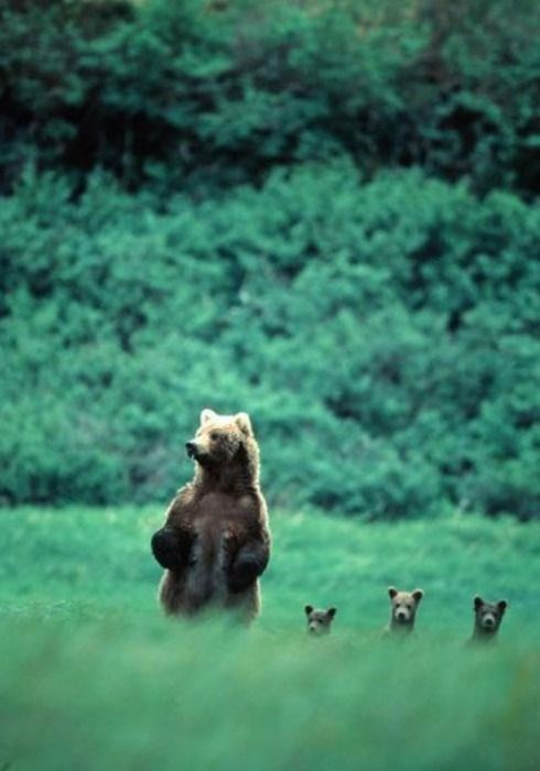 fathers day,bears,bear cubs