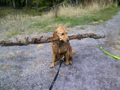 dogs,funny,golden retriever,sticks