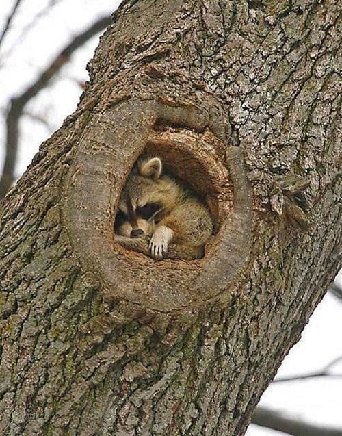 cute naps raccoons - 8219607808