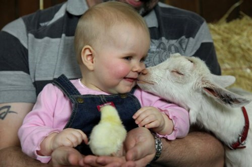 baby,goats,chick,parenting,animals