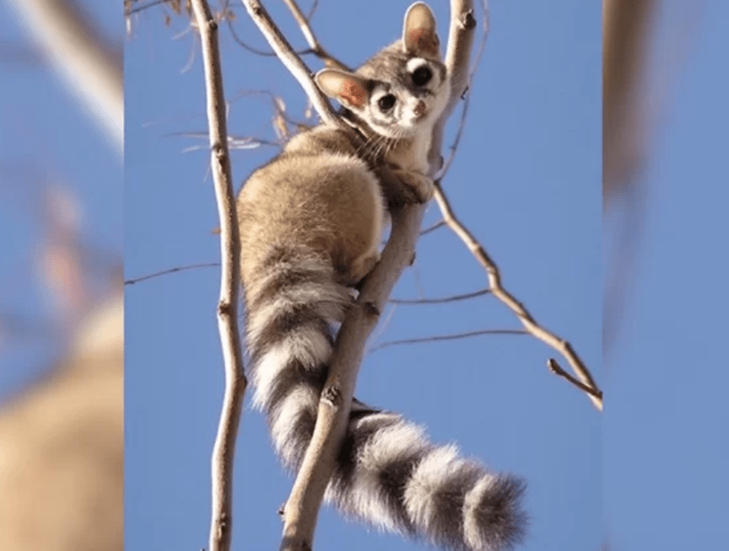 ringtail cat north america raccoons animal cutest - 8220933