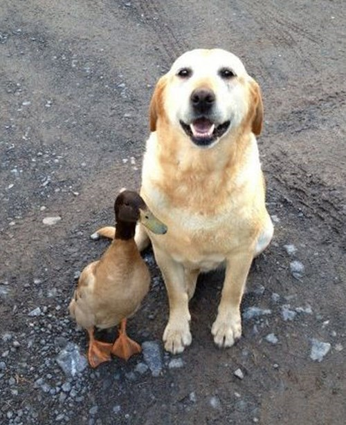 ducks dogs unlikely friendship - 8221558528
