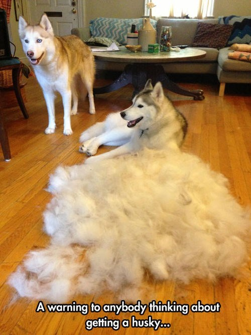 fur dogs huskies brushing