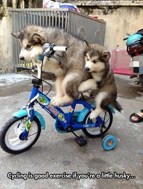 cute dogs huskies puns