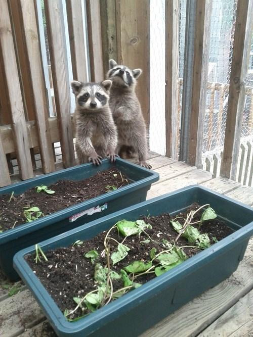 cute,garden,raccoons