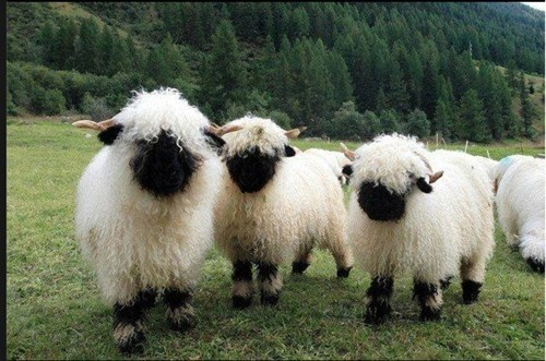 cute sheep - 8225318144