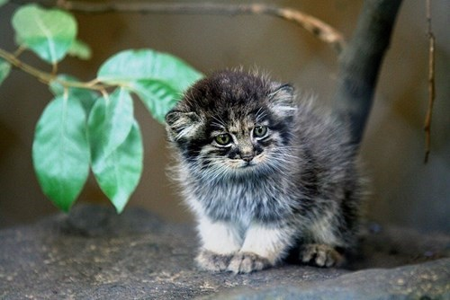 cute kitten pallas cat wild cats