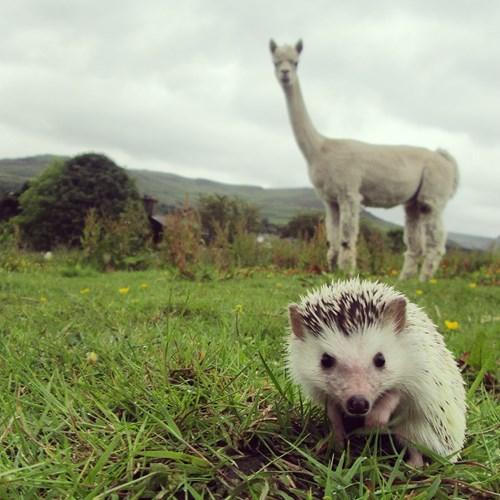 cute hedgehog llama alpaca - 8225477888