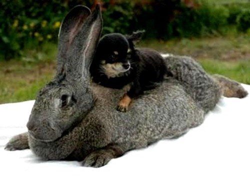 dogs huge funny rabbits - 8225522432