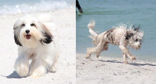 Before And After,dogs,funny,swimming,wet dog