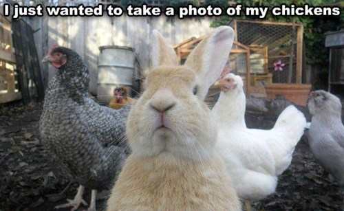 chickens,political pictures,rabbits