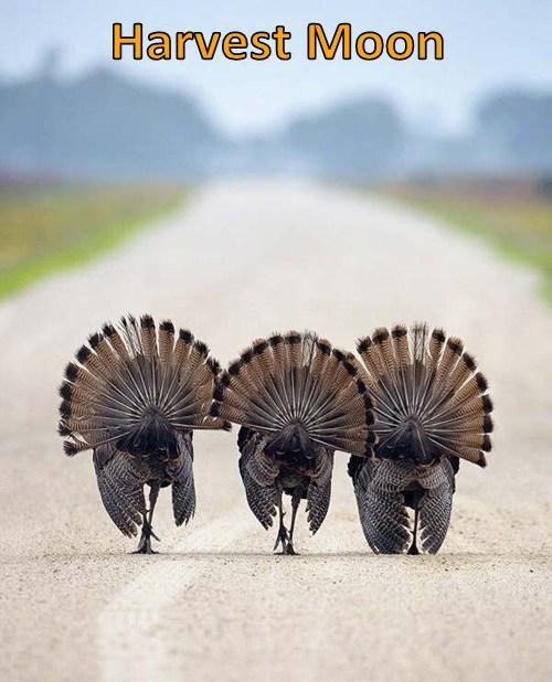 funny puns turkeys - 8227734528