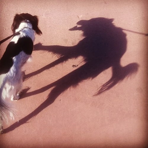 dogs wild wolf shadow