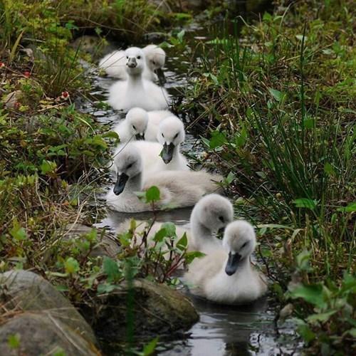 Babies cute birds love swans - 8229459456