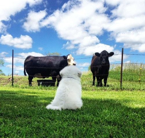 cute cows Fluffy puppies