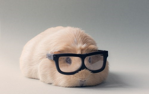 glasses,cute,guinea pig,squee