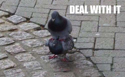 pigeon Deal With It puns - 8233101568