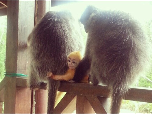 Orange baby silver leaf monkey