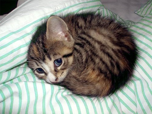 cute kitten purring fur ball
