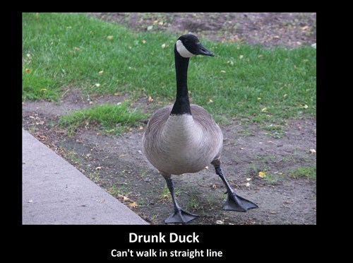 duck geese drunk funny - 8234562304