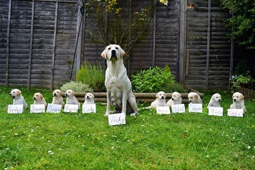 dogs guide dog puppies mama