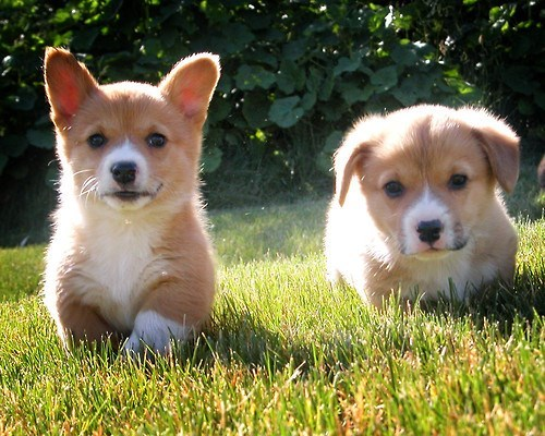 cute dogs corgi friends squee - 8235362304
