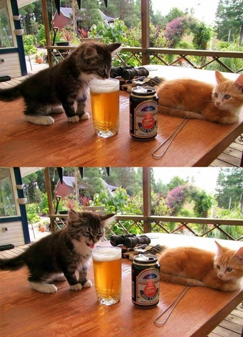 beer,cute,kitten,funny