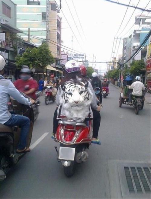 backpack motorcycle poorly dressed tiger
