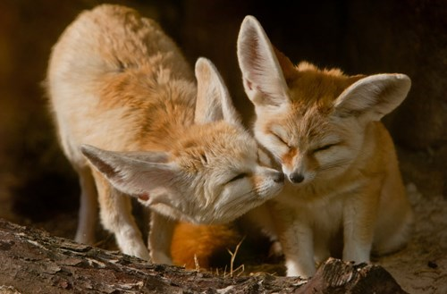 cute fennec fox kissing love