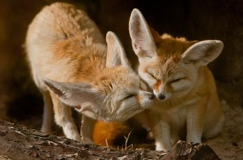 cute fennec fox kissing love - 8236641536