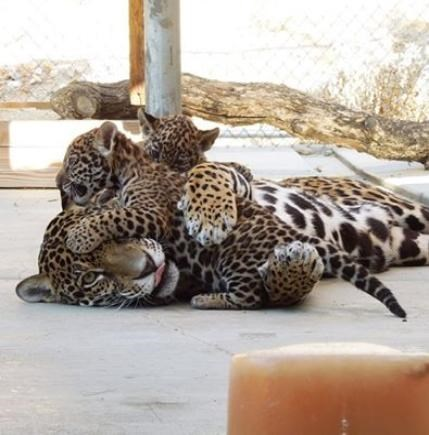 animals big cats kids playing parenting - 8236649472