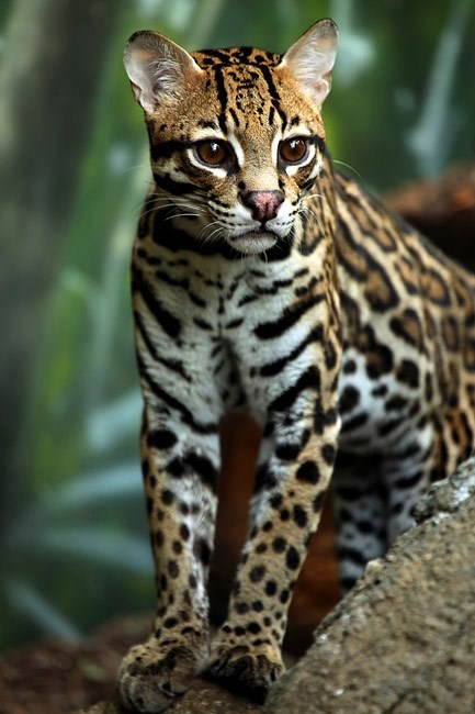 cute big cats puns ocelot - 8236649728