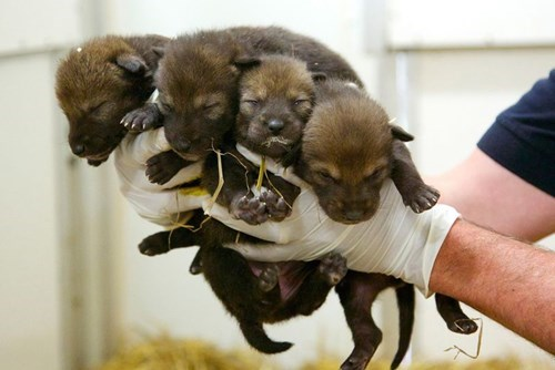 cute endangered puppy wolves - 8237842176
