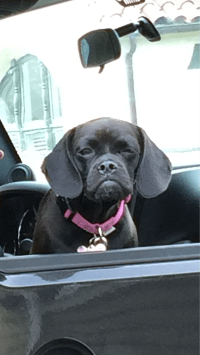 cute dogs driving grouchy - 8237846528