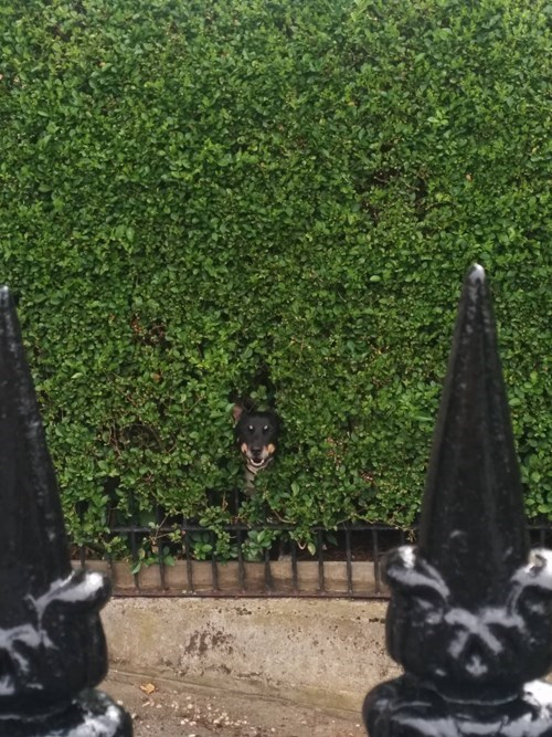 dogs gatekeeper german shepherd lurker maze questions - 8237882368