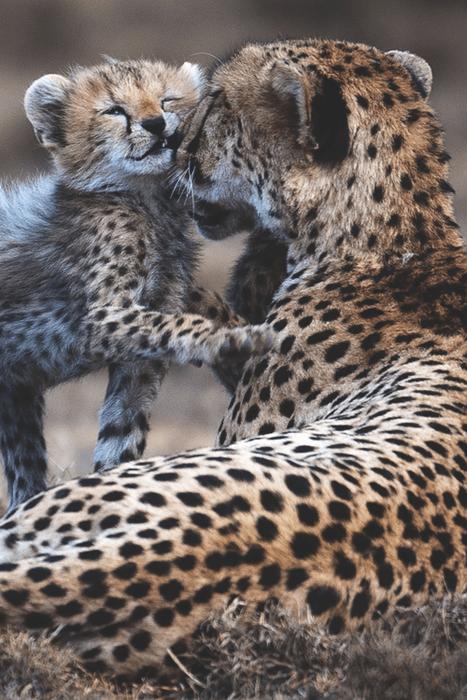 Babies cheetahs cute