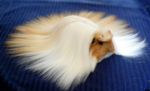 cute guinea pig hair - 8240494848